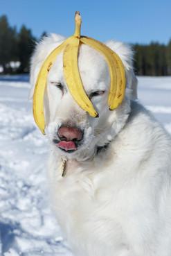 Banana Dog Posin'