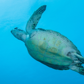 PROTECTING THE SEA TURTLES - Our oceans don' t have time to wait!