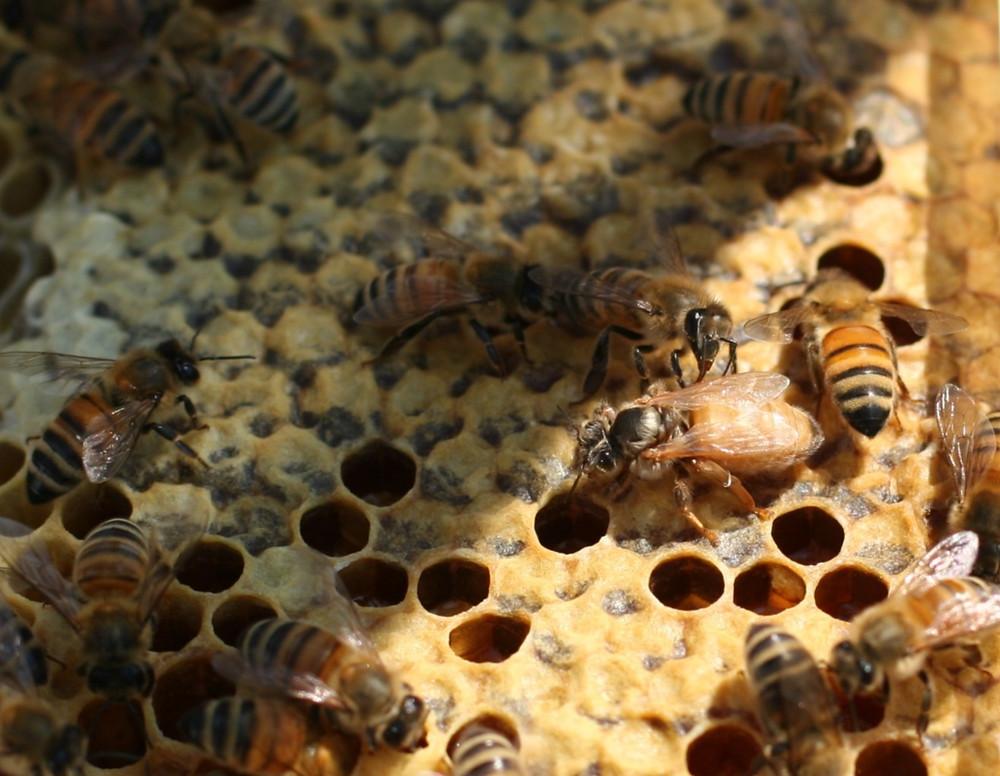 Newly emerged virgin queen bee. Photo Credit: Deidra Ressler