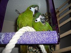 Cambridge parrot sitter