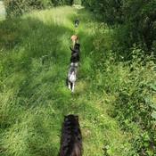 Dog trail at Fen Ditton