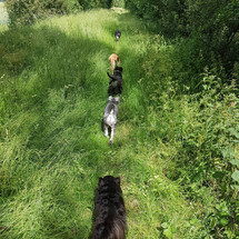 Dog trail at Fen Ditton