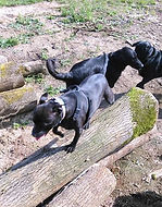 Mia dog walk in Brinkley, Newmarket