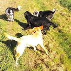 Group dog walk in Fen Ditton