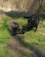 Diesel and Mia dog walk in Fordham, Newmarket