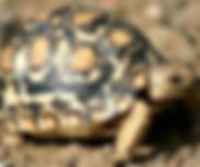 Hermann Tortoises for sale