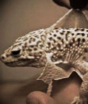 Leopard Gecko cheap for sale