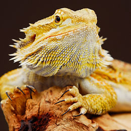 Bearded Dragon cheap for sale