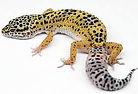 leopard gecko.jpg
