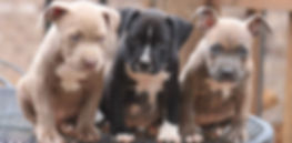 Pitbulls-Puppies-For-Sale-696x342.jpg