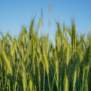 How to Grow River Oat Grass From Seed!