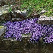 Sacred Plant Co Creeping Thyme Seeds