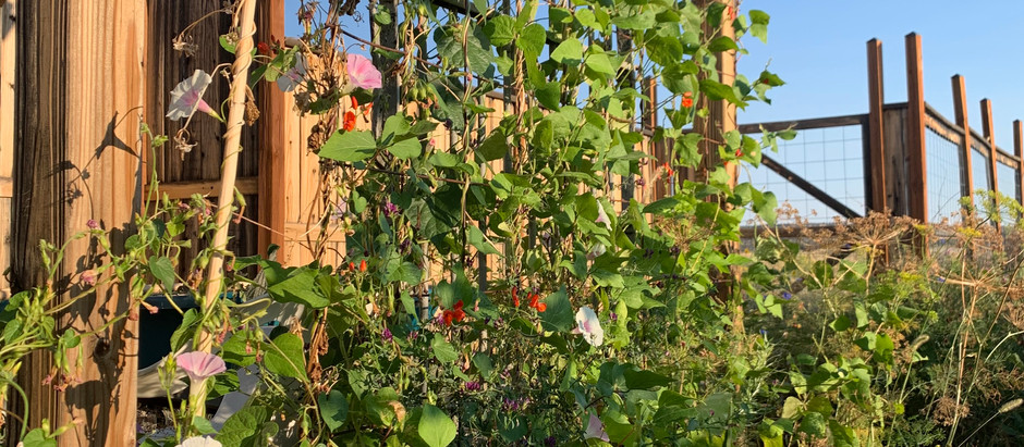 How to Grow Tall Morning Glory From Seed!