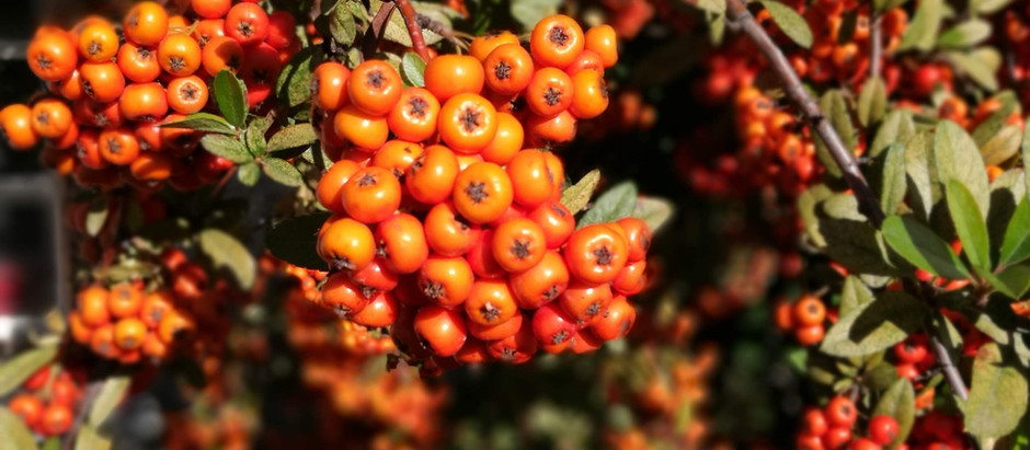 How to Grow Sea Buckthorn from Seed!