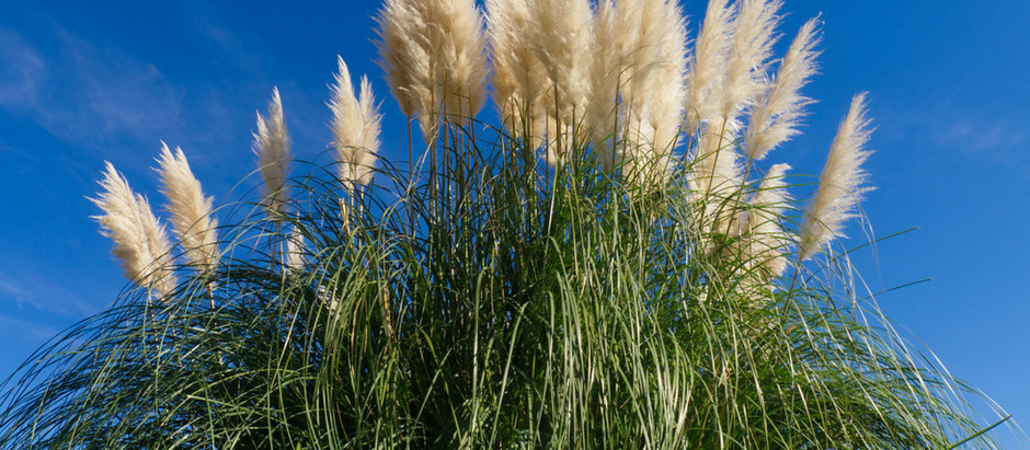 How to Grow Pompas Grass from Seed!