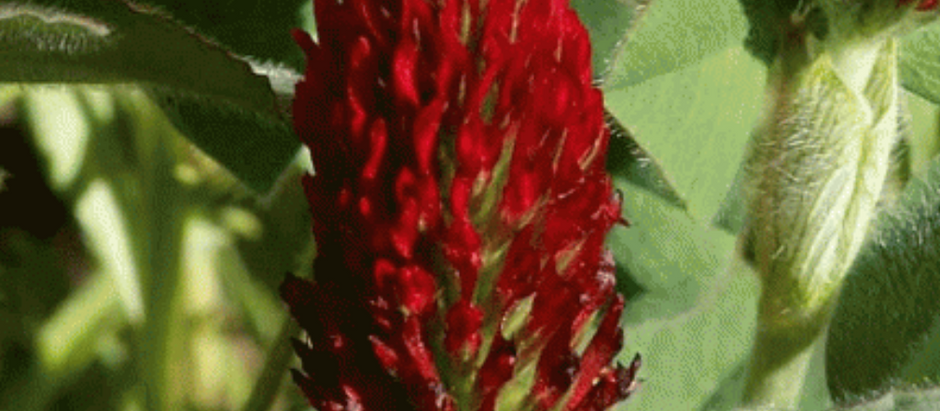 How to Grow Crimson Clover From Seed!