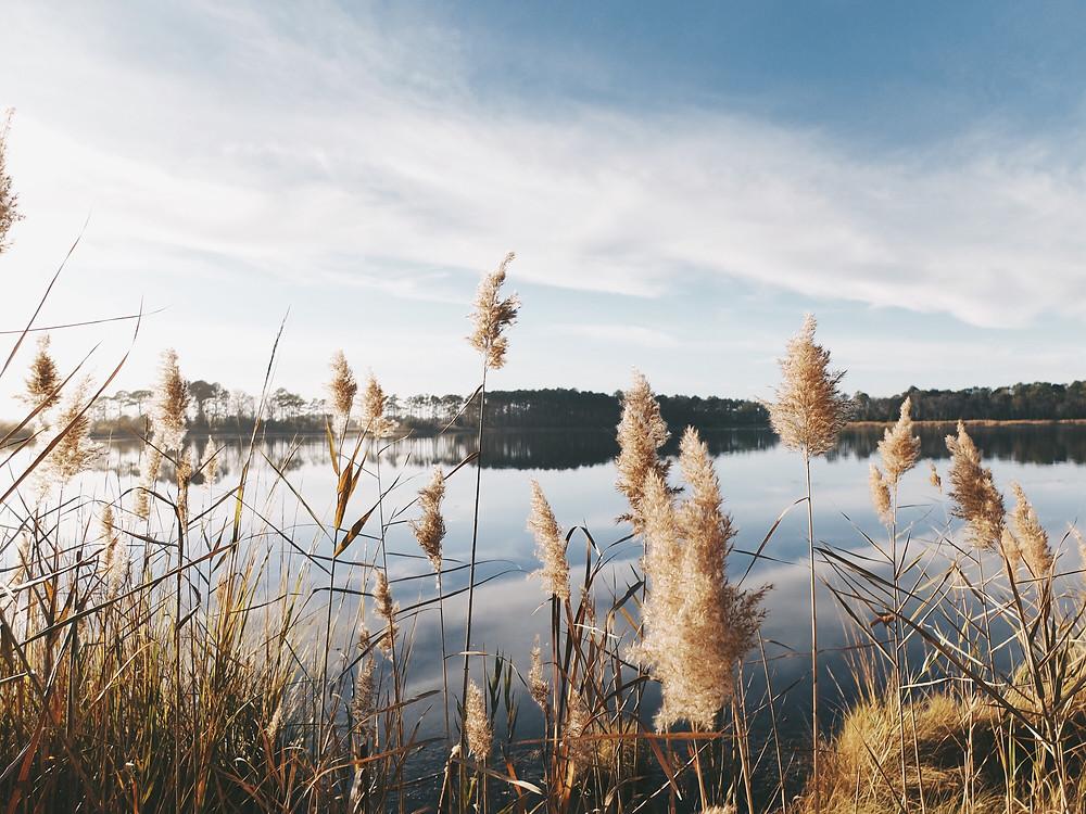 Sacred Plant Co Marsh Pinegrass Seeds