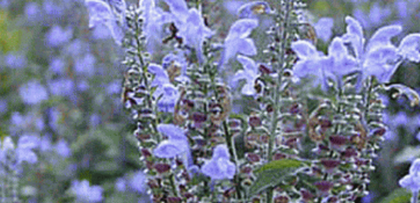 How to Grow Hoary Skullcap From Seed