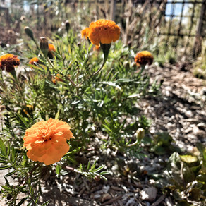 How to Grow French Petite Marigolds From Seeds!