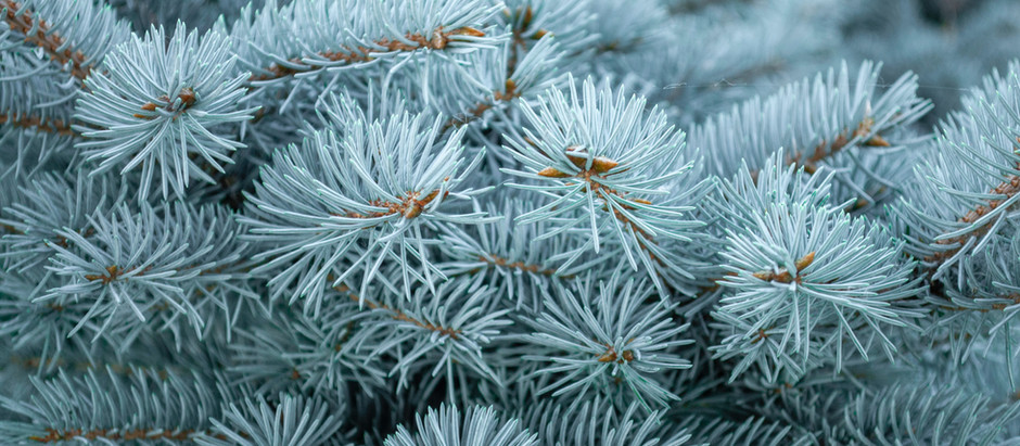 How to Grow Blue Spruce Trees From Seeds