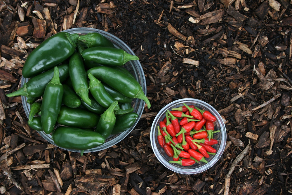 Sacred Plant Co Red Hot Jalapeno Pepper Plant Seeds