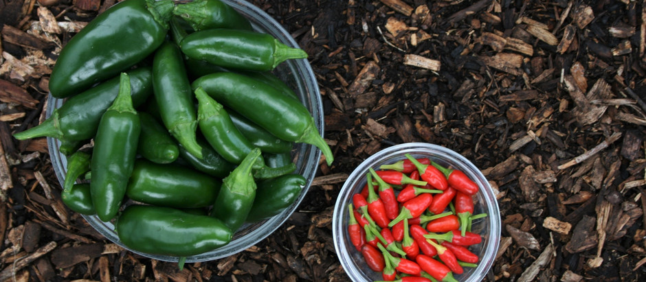 How to Grow Jalapeno Pepper Plants From Seeds