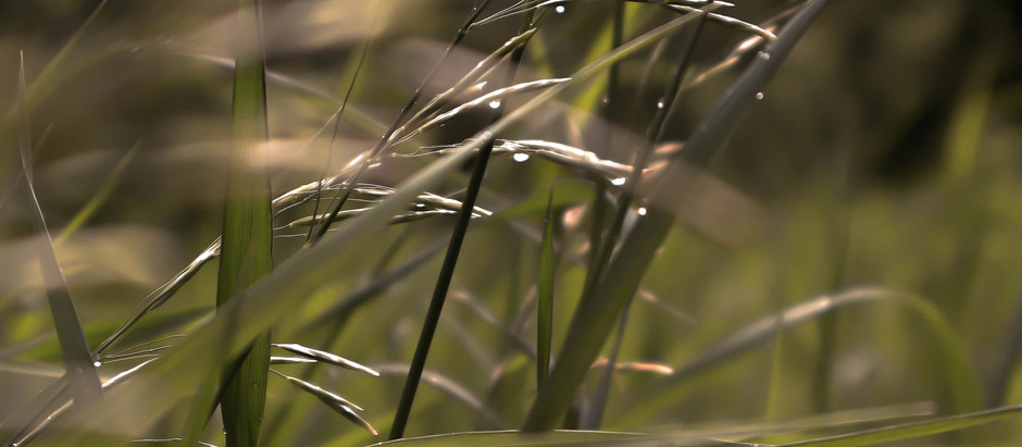 How to Grow Big Bluestem Grass From Seed