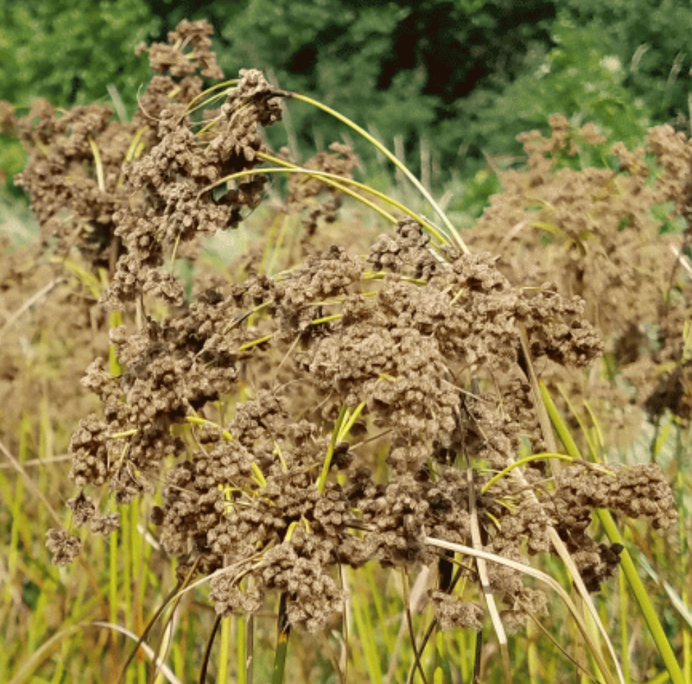 Sacred Plant Co Wool Grass Seeds