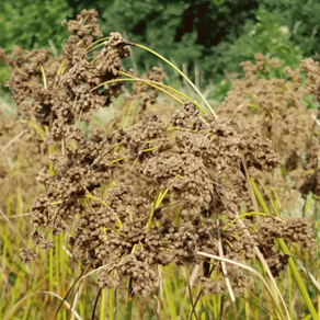 How to Grow Wool Grass From Seed!