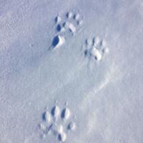 Järvspår en tidig vintermorgon i Singi, Lappland.