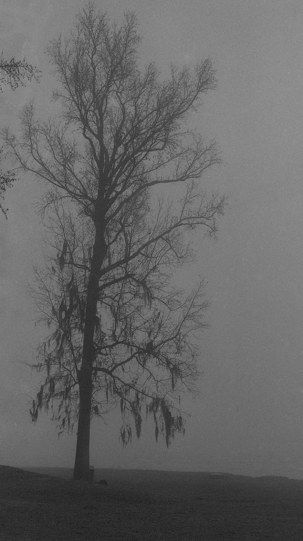 A ghostly sweet gum tree along the Savannah River