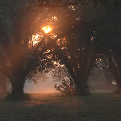Morning Sun Through Pecan Trees