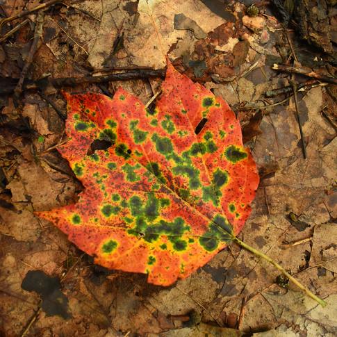 Colored leaf.jpg