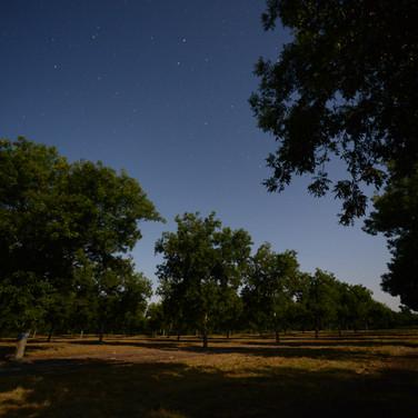 Pecan Trees at Night