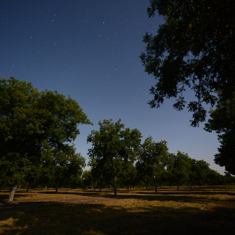 Pecan Trees at Night
