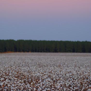 Cotton Field by Moonlight