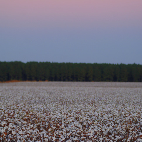 Cotton Field by Moonlight