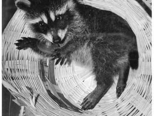 Rachel the Raccoon