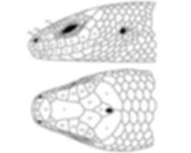 Fig5_headscales3.jpg