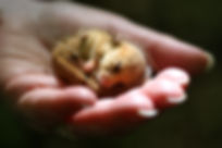 Torpid female dormouse, Maulden Wood, 16