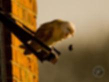 pellet_barn-owl-pelleting.jpg