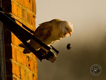 pellet_barn-owl-pelleting.jpg