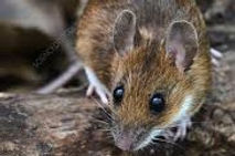 yellow necked mouse.jpg
