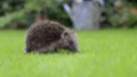 Hedgehog_WT.jpg