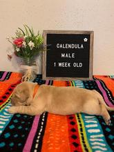 Calendula Boy 1 Week Old