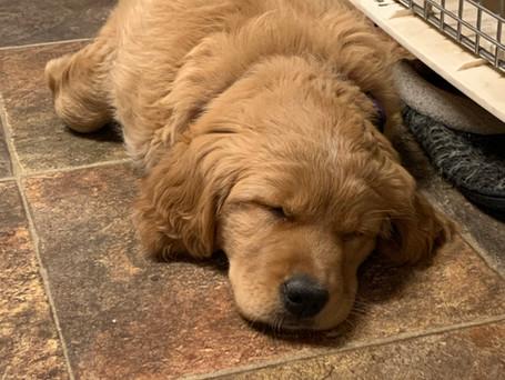 Sansa sleeping as a puppy.jpeg