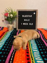 Bluestar Boy 1 Week Old