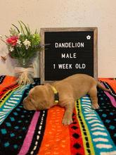 Dandelion Boy 1 Week Old
