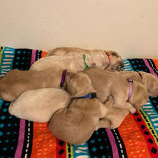 All 7 Puppies in a Cuddle Pile