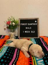 Forest Dianthus Boy 1 Week Old